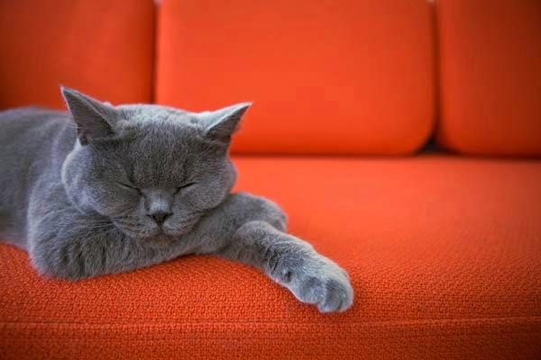 Спяща котка
